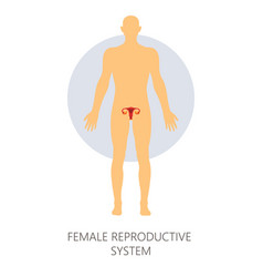 female reproductive system isolated human anatomy vector image