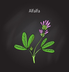 Alfalfa medicago sativa vector
