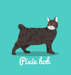 pixie bob cute cat design vector image