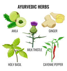 holy basil cayenne pepper milk thistle ginger vector image
