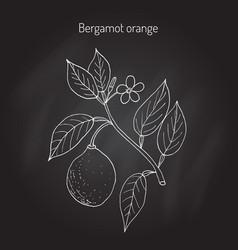 Bergamot orange branch vector