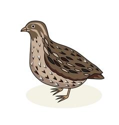 A bird quail cartoon style vector