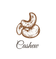 Cashew nut walnut vector