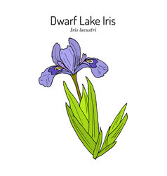 Dwarf lake iris iris lacustris state wild flower vector