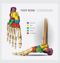 Human anatomy foot bone vector
