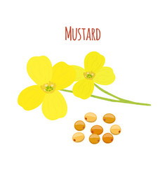 Mustard flower seeds organic condiment vector