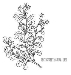 Doodle plants bearberry medicinal plant vector