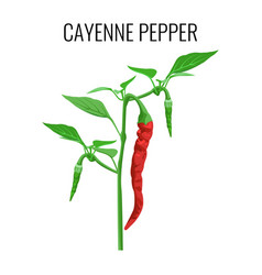 Cayenne pepper pod on green stem with leaves vector