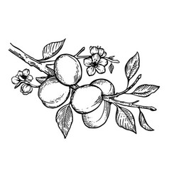 Apricot plant engraving vector