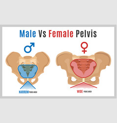 Female male pelvis-09 vector
