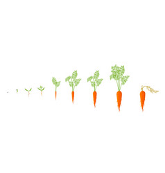 Growth stages of carrot plant vector
