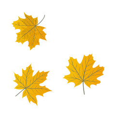 maple leaves isolated on a white vector image