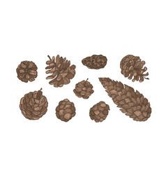 collection of cones of evergreen coniferous trees vector image
