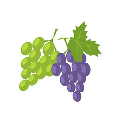two sorts of grape green and lilac fresh fruits vector image