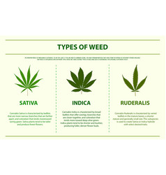 Types weed horizontal infographic vector