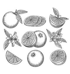 hand drawn orange set vector image vector image