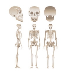 set white human skeletons in different vector image