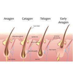 Human head hair growth cycle Biological catagen vector