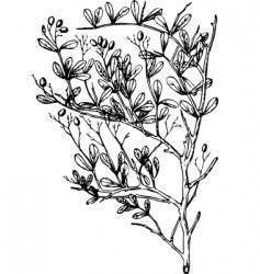 plant nitraria vector image vector image