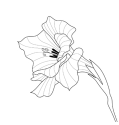 Flower gladiolus Contour graphic art vector