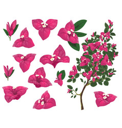 bougainville plant mexico isolated set vector image