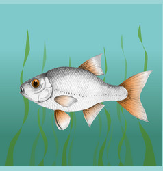 Common roach fish vector