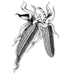 Ears of ripe corn vector
