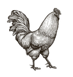 cockerel rooster cock sketch hand drawn vintage vector image