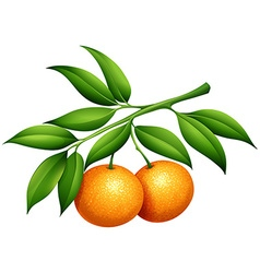 Oranges with stem and leaves vector
