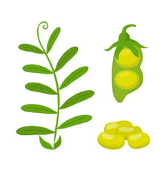 legume plant soybeans green lentil bean vector image vector image