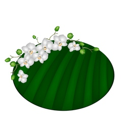 Beautiful Moon Orchids on Green Banana Leaf vector image