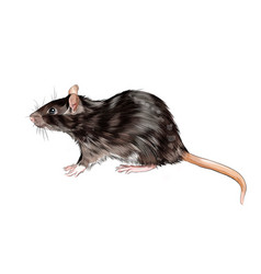 Rat mouse from a splash watercolor colored vector