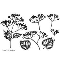 set hand drawn black and white viburnum vector image