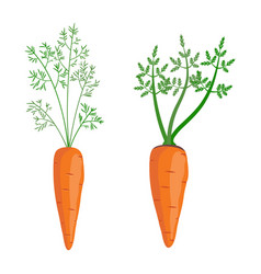 set whole carrots with green top vector image