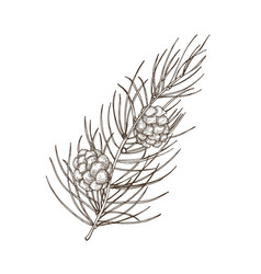 hand drawn beautiful botanical drawing of pine vector image