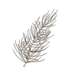 Hand drawn beautiful botanical drawing pine vector