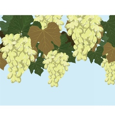 White grapes cluster vector image vector image