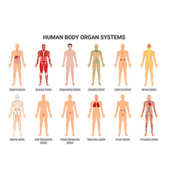 Human body organ systems poster vector