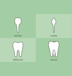 tooth type - incisor canine premolar molar vector image