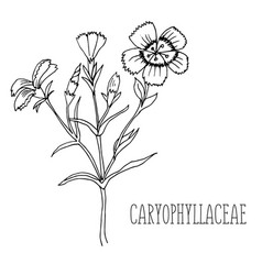 doodle plants carnation medicinal plant vector image