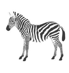 Standing zebra side view on white background vector