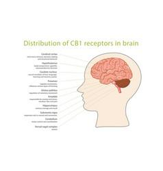 Distribution cb1 receptors in brain vector