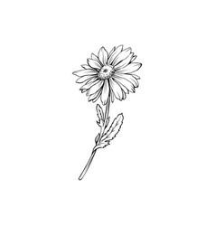 German chamomile black ink sketch vector