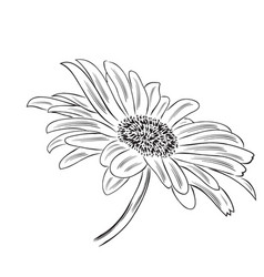 Hand drawn outline daisy flower isolated on white vector