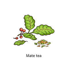 Mate tea leaves drawing isolated on white vector