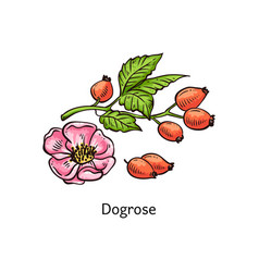 Dogrose or rose hip with leaves and berries sketch vector