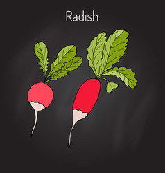 Radishes with leaves vegetable collection vector