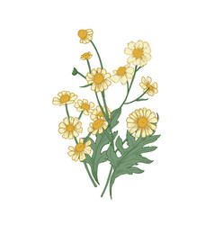Chamomile flowers buds and leaves hand drawn vector