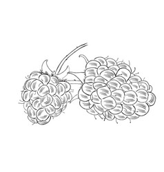 hand drawn raspberry isolated on white background vector image
