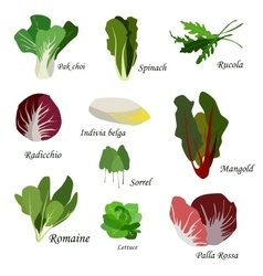 Salad ingredients Leafy vegetables icons set vector image vector image